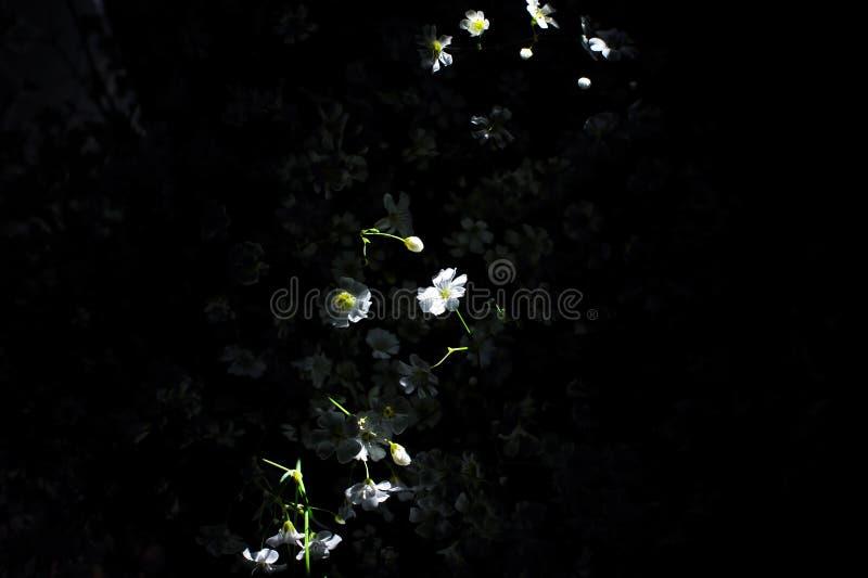 Sunbeam na białym chamomile kwitnie chrysomile zdjęcie stock