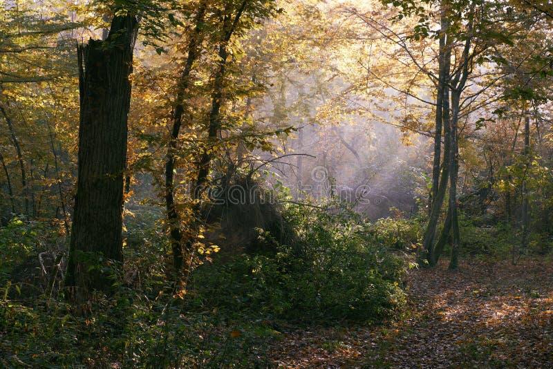 Sunbeam que entra na floresta deciduous rica imagens de stock