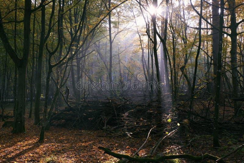 Sunbeam que entra na floresta deciduous rica fotos de stock