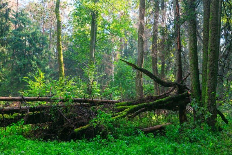 Sunbeam que entra na floresta deciduous rica imagem de stock