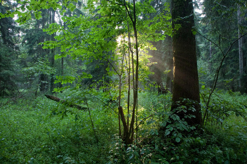 Sunbeam que entra na floresta rica na noite enevoada imagem de stock