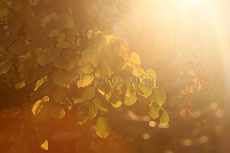 A sunbeam is texture. Sunbeams on a background green leaves photo for text stock images