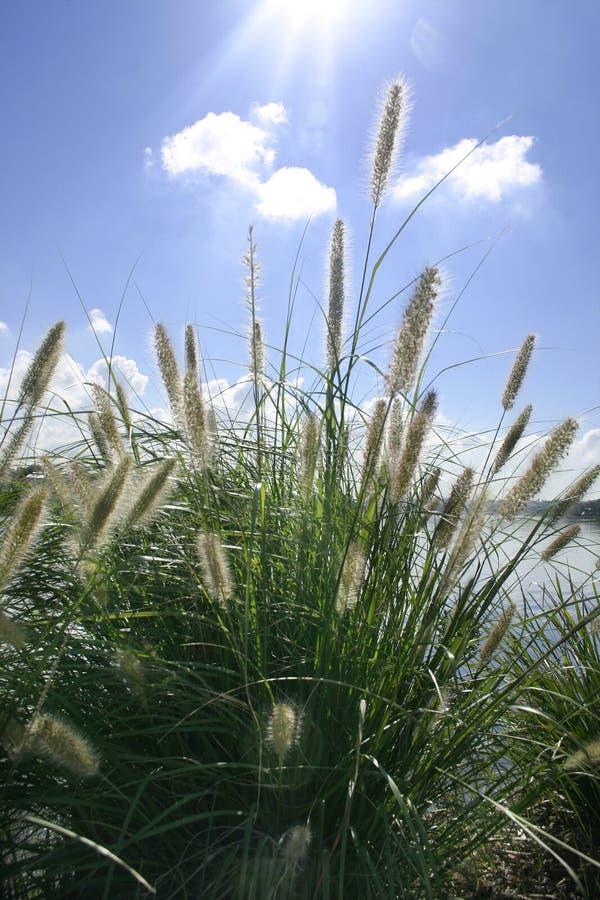 Sunbeams Auf Dekorativem Gras Stockfoto