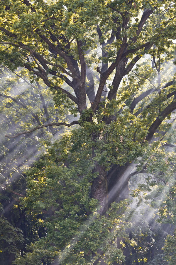 Sunbeams Through Branches Royalty Free Stock Image