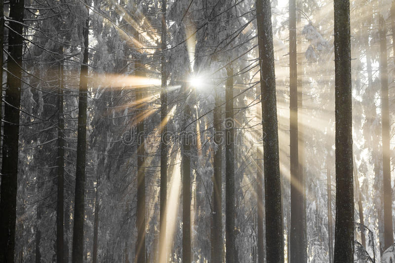 Sunbeams breaking through the cold fog an snow covered trees. The holy light reaches the earth on a frosty Advent day royalty free stock photo