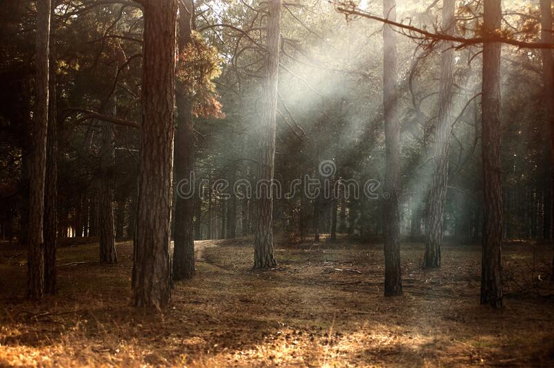Sunbeams breaking through forest trees stock image