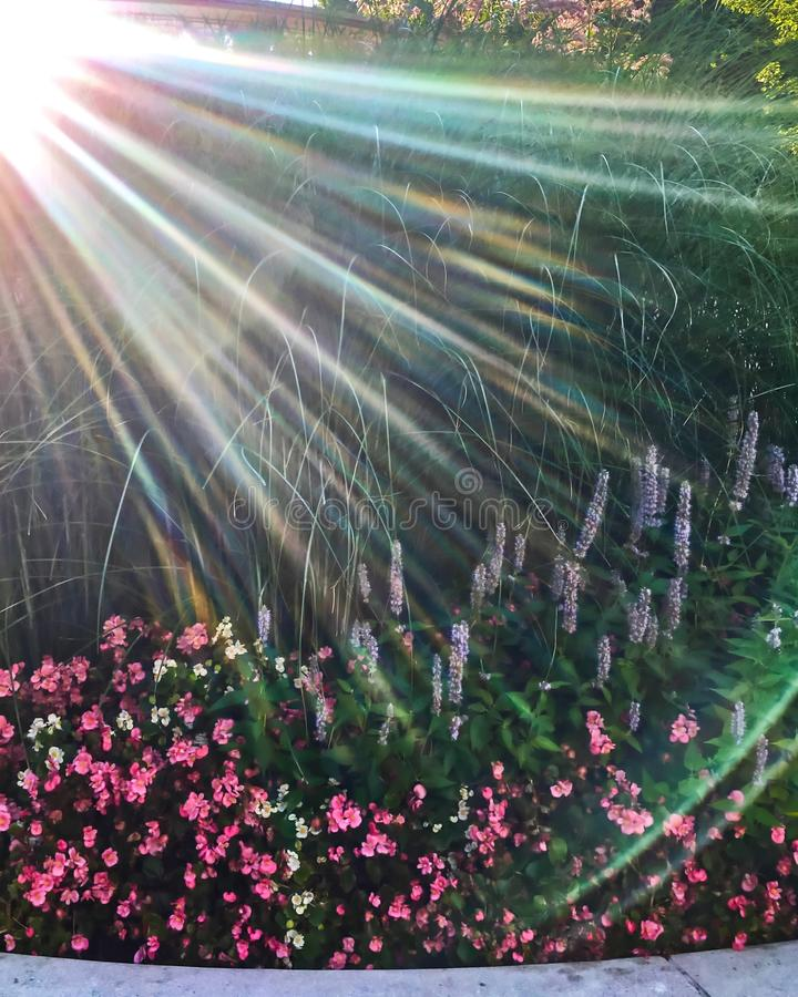 Sunbeams extend over flower garden in Chicago during springtime watering. stock photos