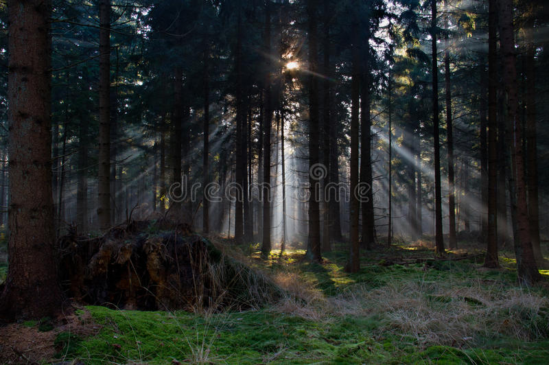 Sunbeams in a forest. Sunbeams in a dark pine forest stock image