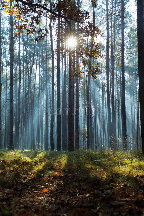 Sunbeams i skog arkivbilder