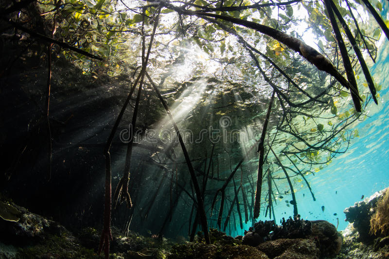 Sunbeams and Mangrove Forest in Raja Ampat. Beams of sunlight pass into a mangrove forest in Raja Ampat, Indonesia. This remote region of eastern Indonesia is royalty free stock image