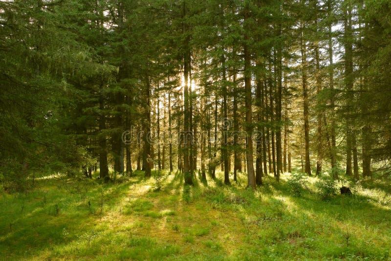 Sunbeams na floresta foto de stock royalty free