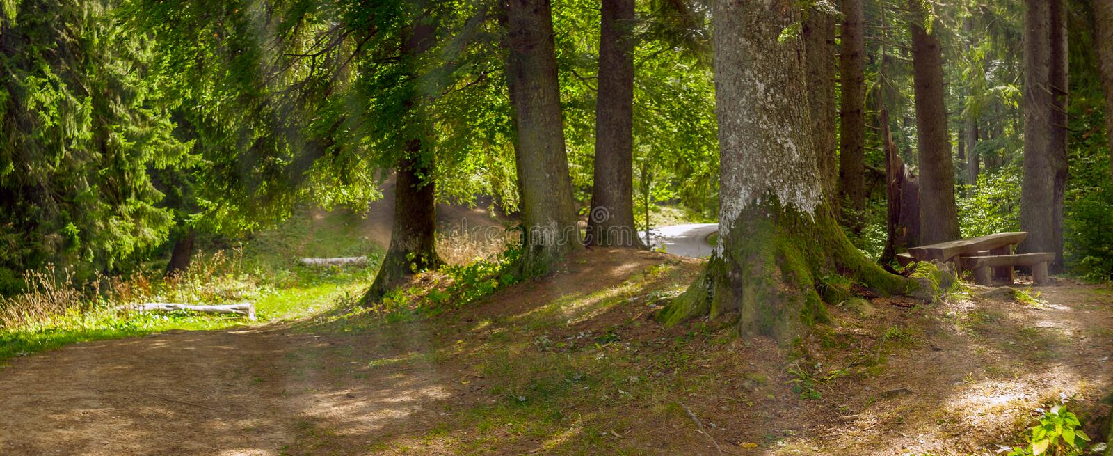 Sunbeams passing through fir and cedar trees in a forest. A bench and a wooden table seen on the left. Panorama royalty free stock photo