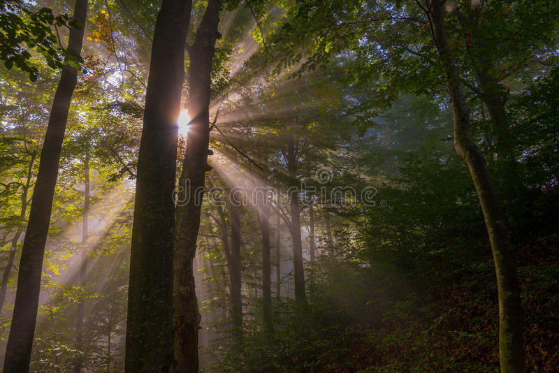 Sunbeams penetrating forest stock photos