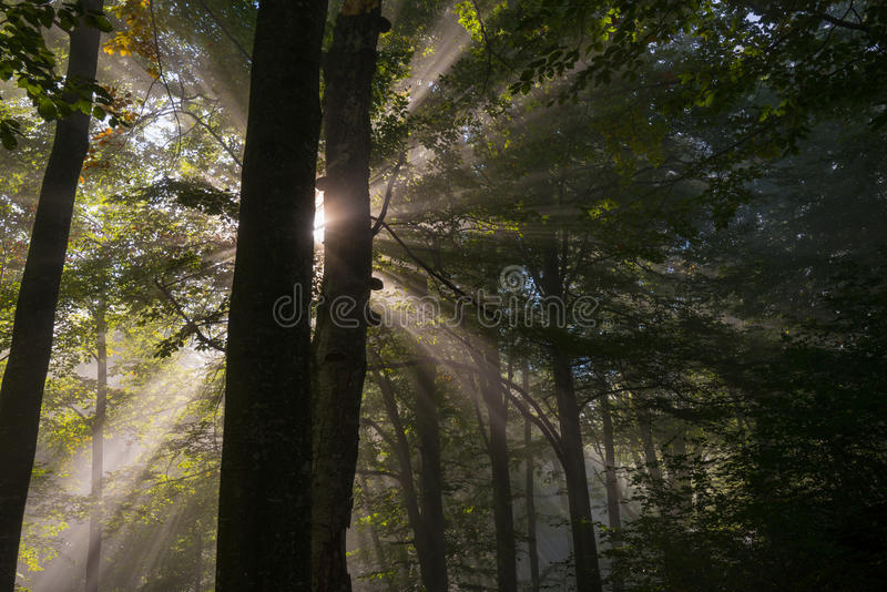 Sunbeams penetrating forest royalty free stock photos