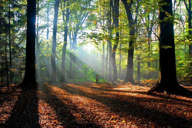 Sunbeams pour into an autumn forest stock photography