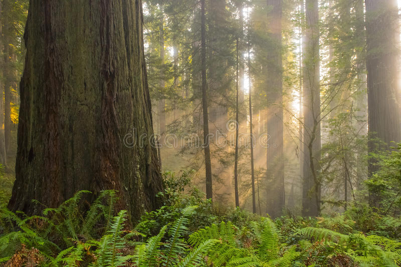 Sunbeams in redwood forest royalty free stock image