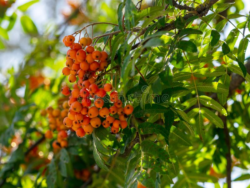 A bunch of fruits of red mountain ash stock photography