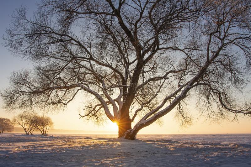 Sunbeams through tree on snowy meadow at sunset. Beautiful winter scene. Yellow sunlight. Snowy trees on icy lake shore royalty free stock photos