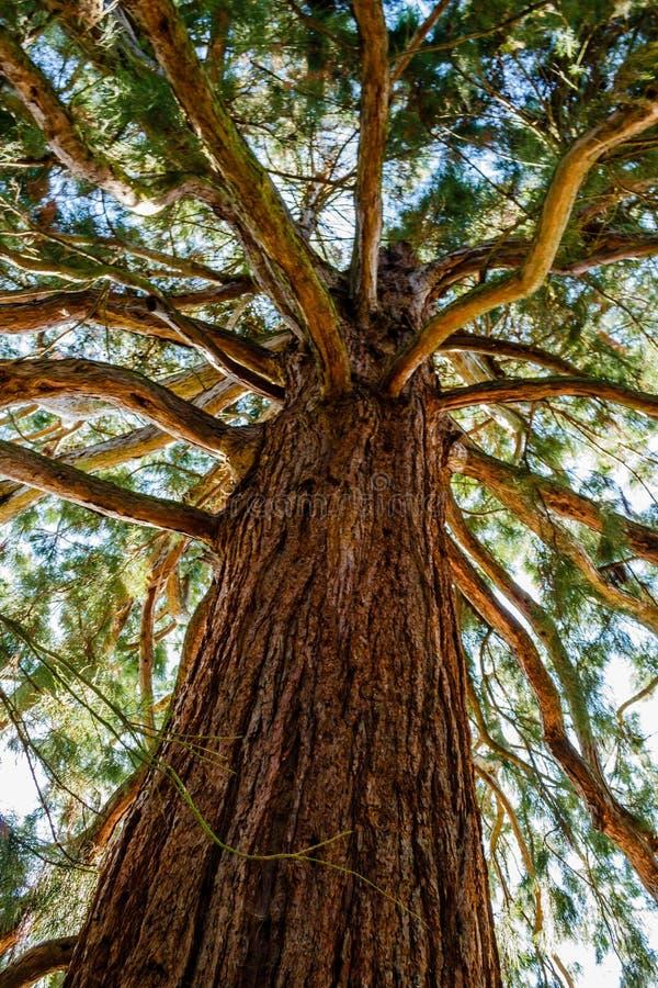 Sunbeams zalewają bagażnika gigantycznej sekwoi drzewo i gałąź zdjęcia royalty free