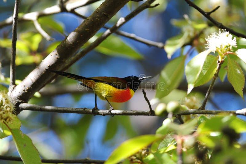 sunbird που παρακολουθείτα&iota στοκ εικόνα με δικαίωμα ελεύθερης χρήσης