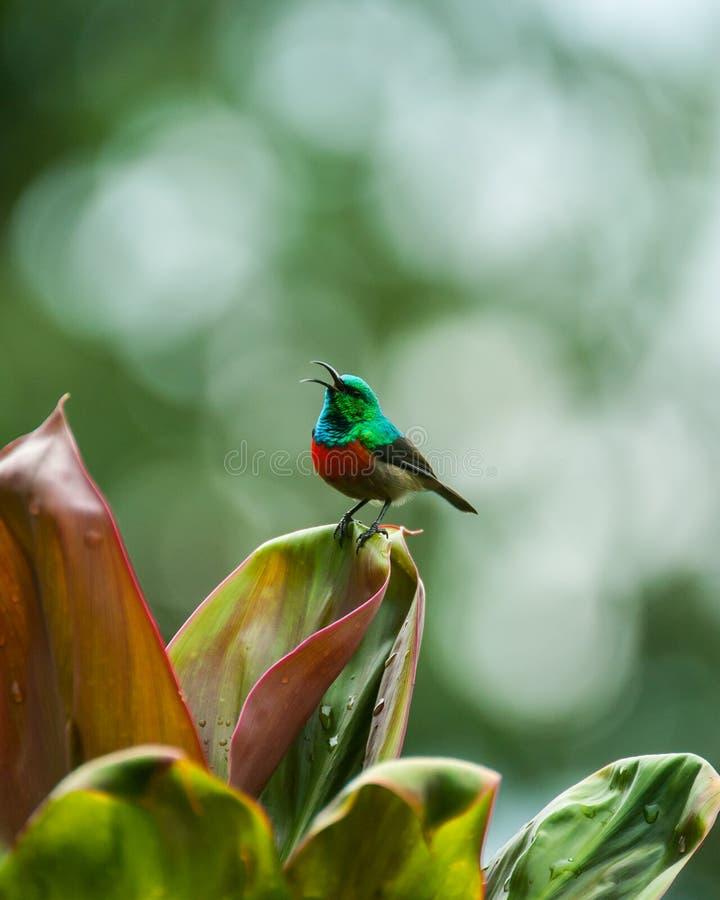 Sunbird, Уганда стоковое изображение rf