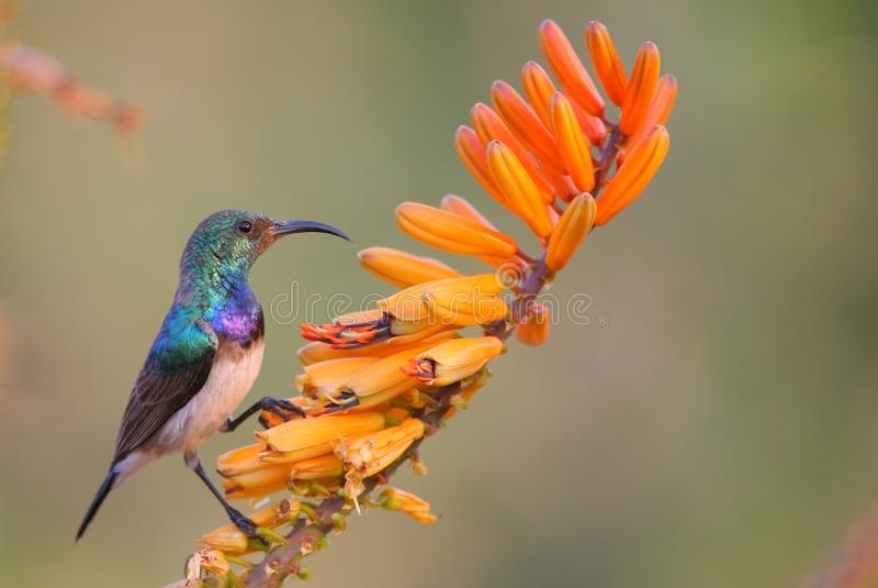 Sunbird fotografia stock libera da diritti