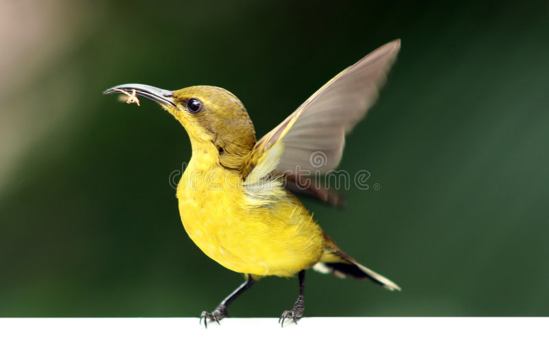Sunbird. A Sunbird trying to build its nest in the presence of a annoying photographer royalty free stock images