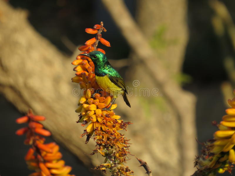 Sunbird stockbilder
