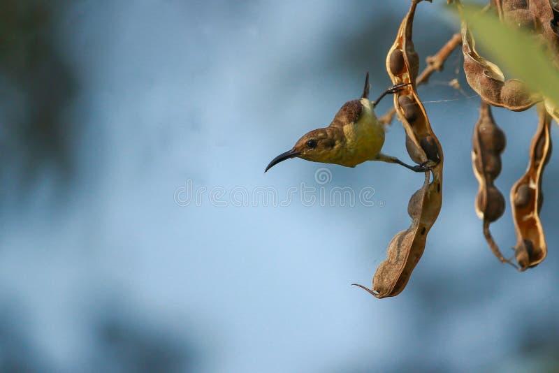 Sunbird immagine stock libera da diritti