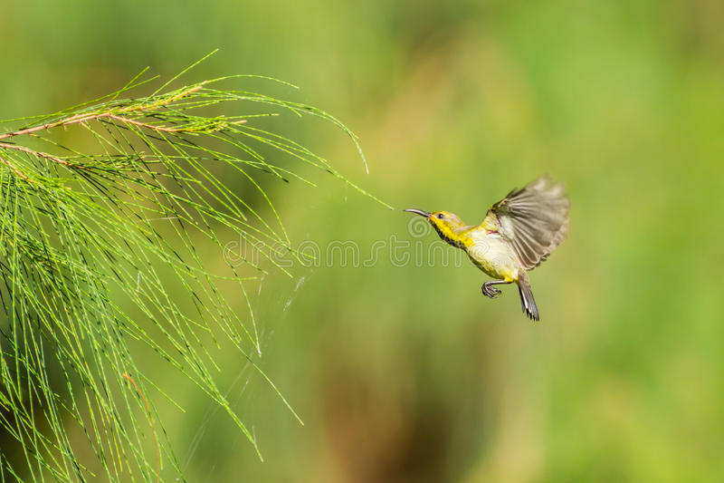 Sunbird Aceituna-apoyado hembra imagenes de archivo