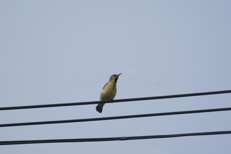 Sunbird Aceituna-apoyado hembra fotografía de archivo