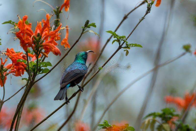 Sunbird royalty free stock image