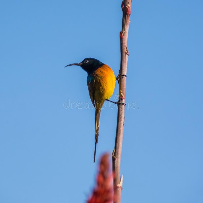 Sunbird Alaranjado-Breasted fotos de stock royalty free