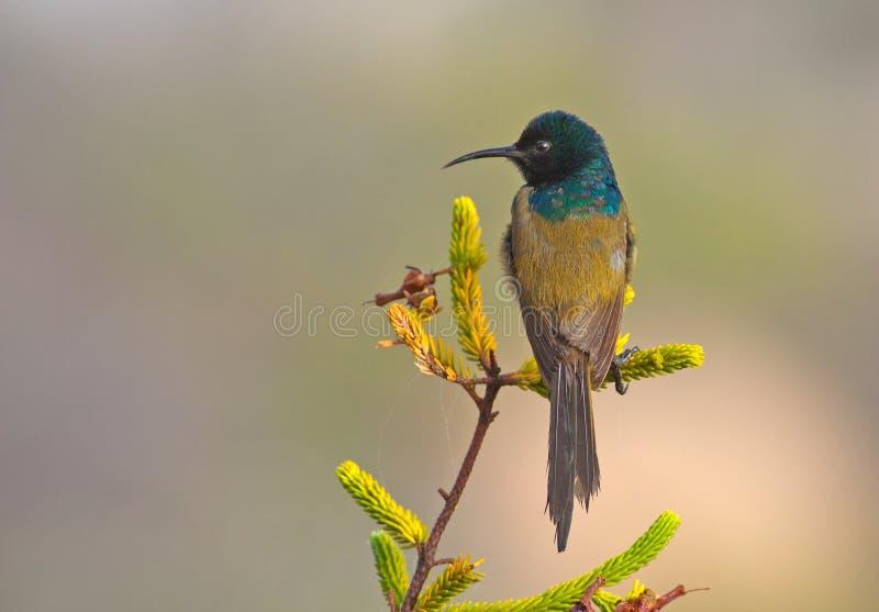 Sunbird Alaranjado-breasted imagem de stock royalty free