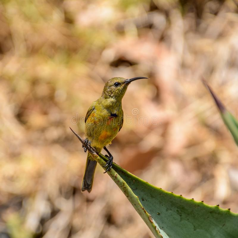 Sunbird alaranjado-breasted juvenil foto de stock royalty free