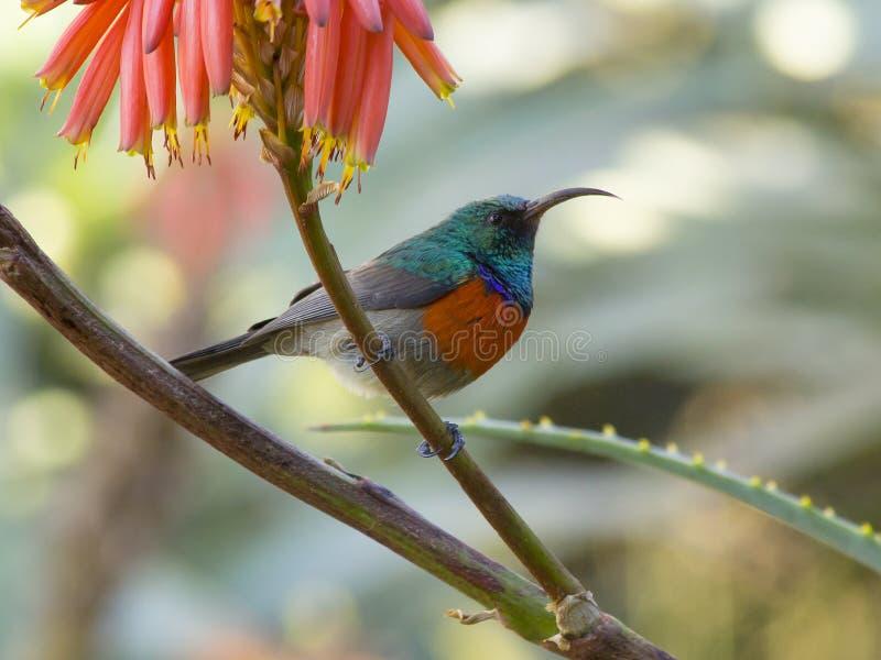 Sunbird arancio-breasted su una pianta luminosa dell'aloe immagine stock