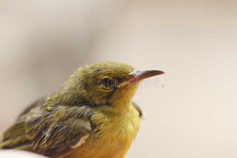 Sunbird Azeitona-Suportado imagens de stock