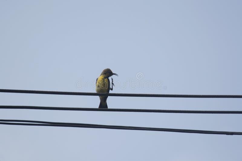 Sunbird Azeitona-suportado fêmea foto de stock royalty free