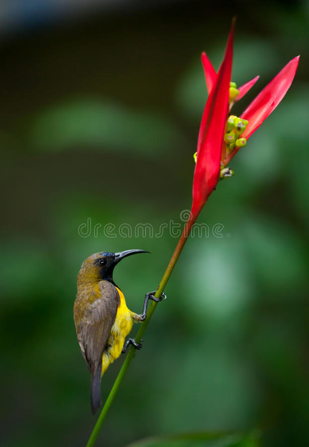 Sunbird Azeitona-suportado (jugularis de Cinnyris) fotos de stock royalty free