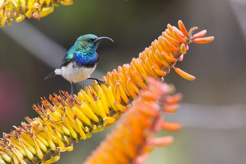 Sunbird Blanc-gonflé recherchant le nectar en fleurs jaunes image libre de droits