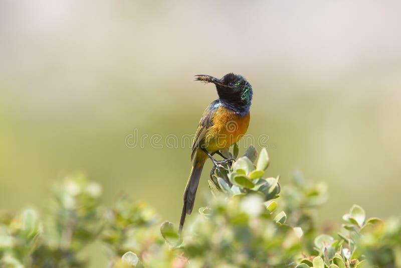 Sunbird breasted par orange images libres de droits