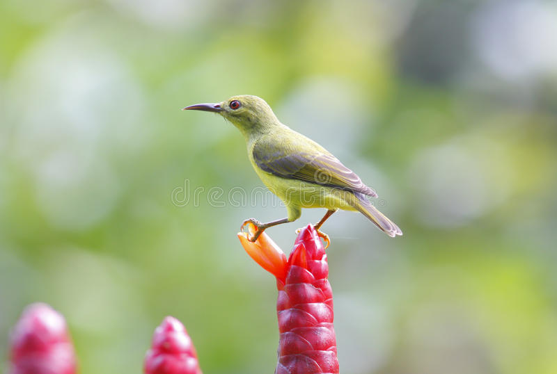 Sunbird Brown-throated photographie stock