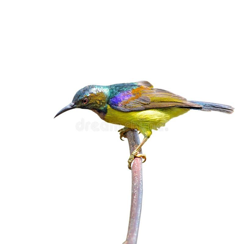 Sunbird Brown-throated photos libres de droits