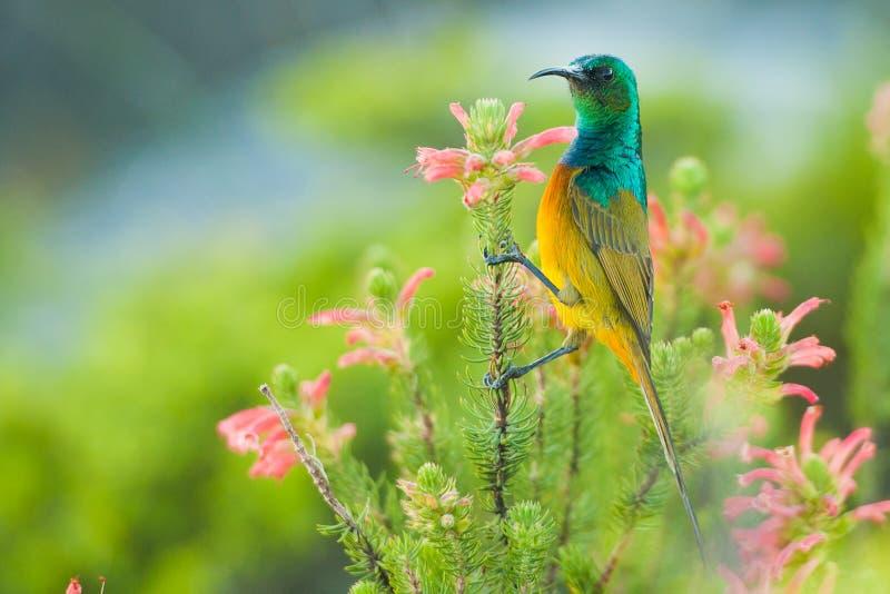 Sunbird coloré alimentant l'Afrique du Sud photographie stock