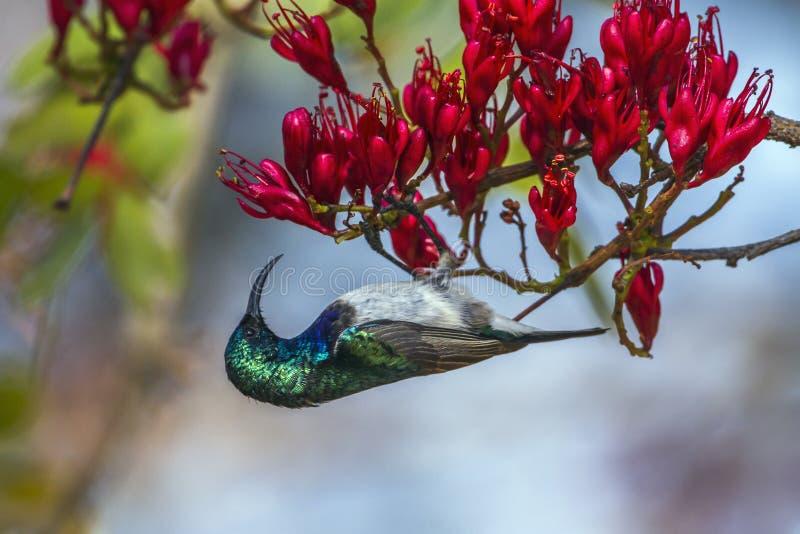 Sunbird dal petto bianco nel parco nazionale di Kruger, Sudafrica immagini stock