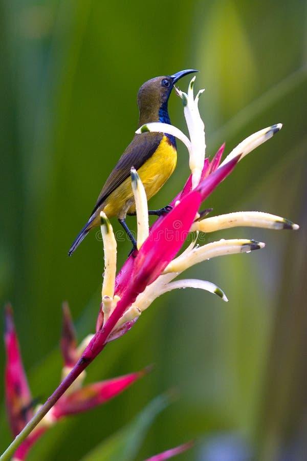Sunbird di appoggio oliva fotografie stock