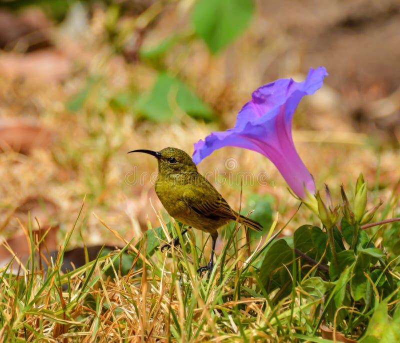 Sunbird femelle photo libre de droits