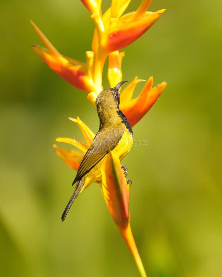 Sunbird on flower stock photo