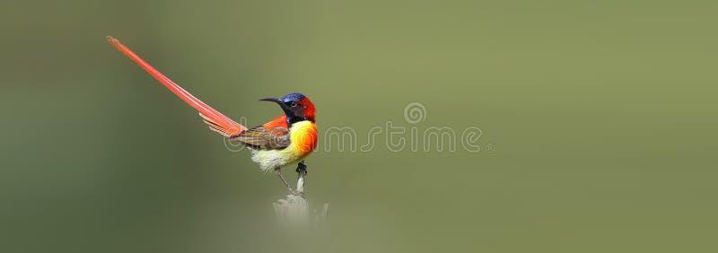 Sunbird Fogo-atado fotografia de stock royalty free