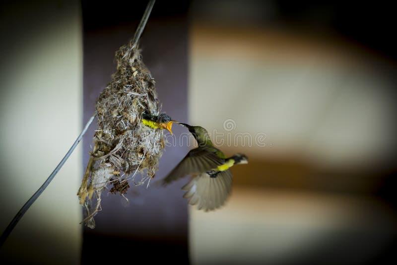 Sunbird movido hacia atrás aceituna imagen de archivo libre de regalías